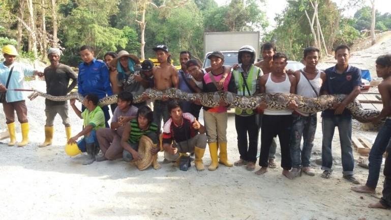 Python, Malaysia