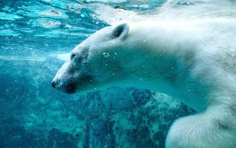 Polar bear, Asahiyama Zoo