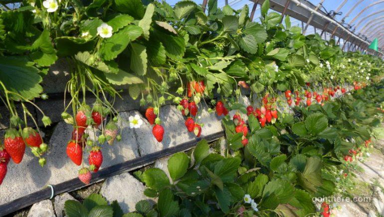 Kunozan Strawberry Farm